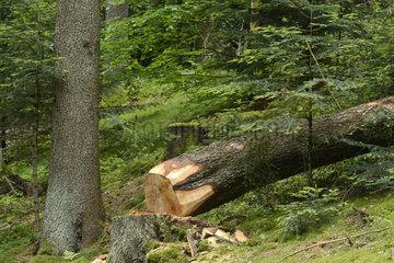Silver fir cut by loggers - Vosges France