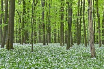 European Beech Forest (Fagus sylvatica) with Ramson (Allium ursinum)  Hainich National Park  Thuringia  Germany  Europe