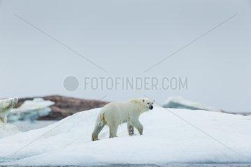 Polar Bear (Ursus maritimus) walking melting sea ice near Harbour Islands  Repulse Bay  Nunavut Territory  Canada