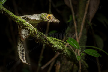 Mossy leaf-tailed Gecko on a branch - Ranomafana Madagascar