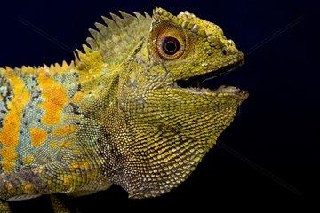 Javan Humphead Lizard (Gonocephalus chamaeleontinus)  Indonesia
