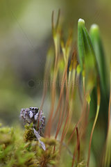 Jumping Spider on moss - France