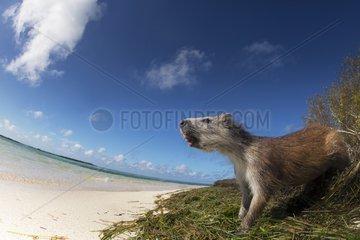 Cuban Hutia on the beach. Cuba