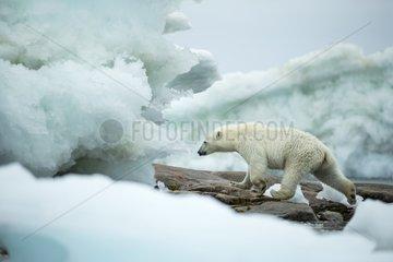 Polar Bear (Ursus maritimus) walking amid melting sea ice near Harbour Islands  Repulse Bay  Nunavut Territory  Canada