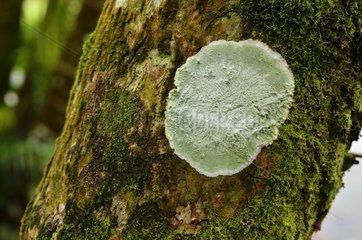 Lichen Cryptothecia striata  Forêt de Vatable  Martinique  France