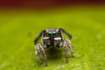 Peacock jumping spider male on a leaf - Australia