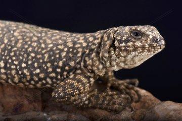 Nevado mountain lizard (Phymaturus nevadoi)  Mendoza  Argentina
