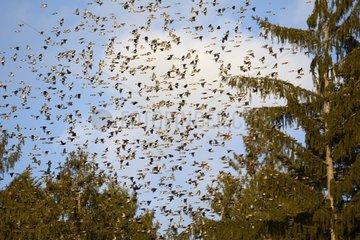 Brambling (Fringilla montifringilla) in flight coming together in a dormitory for the night - Delle - Territoire de Belfort - France