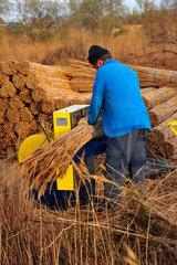 Preparation of bundles of reeds - Camargue France