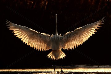 Great Egret with back backlight with wings open