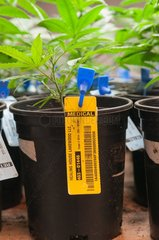 Every marijuana plant is labeled and catalogued from start to finish at commercial grow. Denver  CO