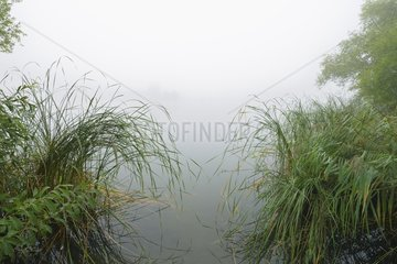 Lake and reed in early morning fog  Hesse  Germany  Europe