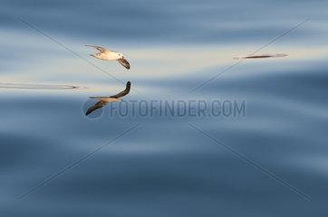 Northern Fulmar gliding at sunset - Spitsbergen