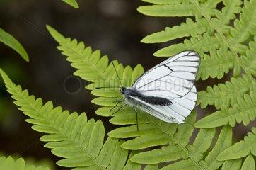 Black-veined white (Aporia crataegi). Taglamyren  Sweden in July