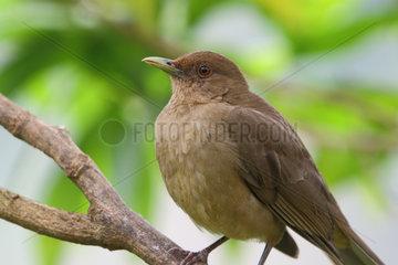 Clay-colored Robin on a branch - Costa Rica