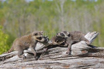 Young Raccons sleeping on a trunk Minnesota USA