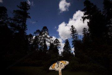 Monarch at rest. Santuario El Rosario  Michoacan  Mexico