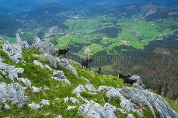 Goats at Orisol or Orixol mountain  Alava  Basque Country  Spain  Europe