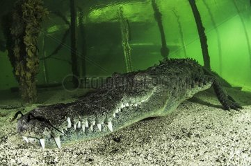 American Crocodile (Crocodylus acutus)  Gardens of the Queen  Cuba