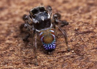 A recently re-discovered undescribed species of Peacock jumping spider (Maratus ) from Southern Queensland. This was found with Michael Duncan and Michael Doe. We were given the location by PHD peacock spider researcher Maddie Girard who recently re-disco