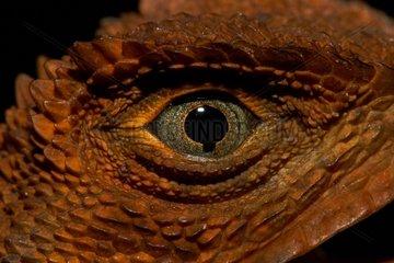 Diving Lizard or Mophead Iguana (Uranoscodon superciliosus) - Montagne de fer - French Guiana