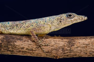 The perfectly camouflaged Bronze anole (Anolis avenues).