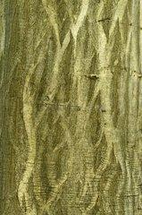 Common hornbeam  Chaumontel  Forêt de Coye  Val-d'Oise  France