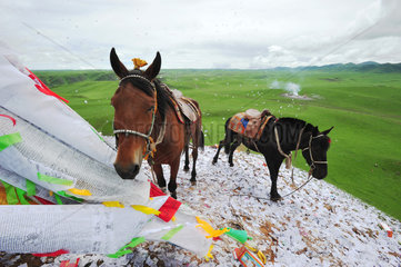 Horses before the race during Lapste - Tibet China