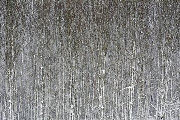Grove under snow - Ecot - Doubs - France