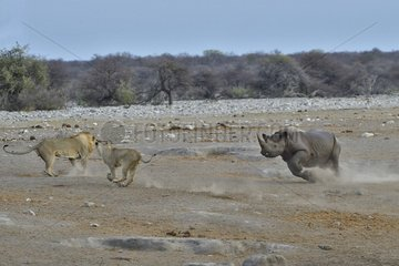 This Black Rhino has stumbled into a cavity and tipped into the water point. After many difficulties given the apic submerged banks  he managed to climb out of the water. Three lions took the opportunity to attack the rhino at the exit of the water.
