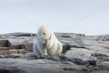 Polar bear sitting along shoreline - Hudson Bay Canada
