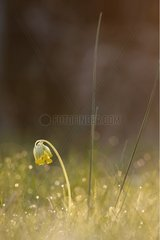 Cowslip primrose flower in the morning dew Alsace France