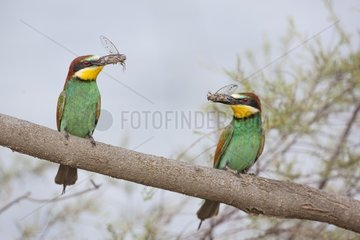 European Bee-eaters (Merops apiaster) couple with prey on a branch. Camargue  France