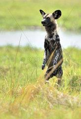 African Wild Dog standing in savannah - Khwai Botswana