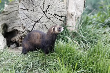 Polecat  (Mustela putorius)  single mammal  captive