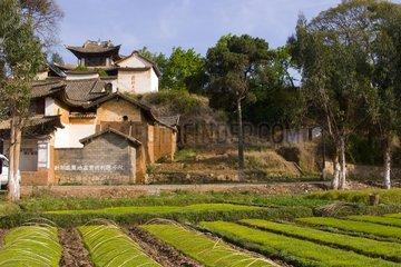 Nursery rice plants  Shaxi  Yunan  China