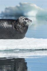 Bearded Seal (Erignathus barbatus) resting in summer sun on sea ice on Hudson Bay  Repulse Bay  Nunavut Territory  Canada