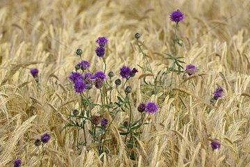 Wildflowers in a ripe wheat field