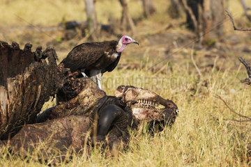 Hooded Vulture and Buffalo carcass - Savutii Botswana