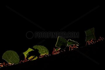Leaf-cutting ant (Acromyrmex octospinosus) in forest - Macouria - Matiti savana - French Guiana