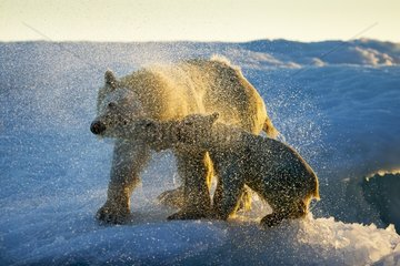 Polar Bear and Cub (Ursus maritimus) shakes off water from boat after swimming near Harbour Islands  Repulse Bay  Nunavut Territory  Canada