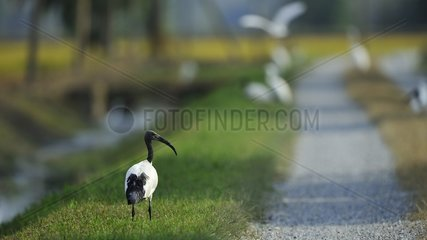 African Sacred Ibis on grass