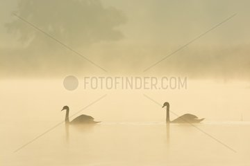 Mute Swans (Cygnus olor) on Misty Lake  Saxony  Germany  Europe