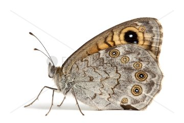 Large Wall Brown female on white background