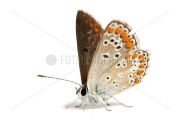 Northern Brown Argus on white background