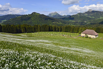 Massive flowering Daffodils on the Pleiades - Switzerland