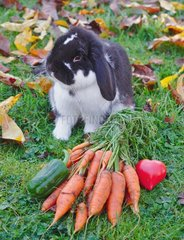 Dwarf ram rabbit next to a bunch of carrots with tops  peppers