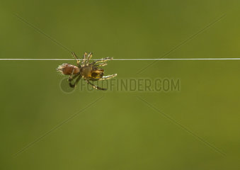 Purse Web Spider advancing on a return wire - France