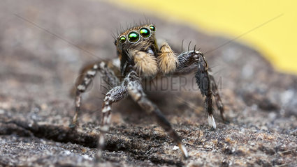 Jumping spider - ACT Australia
