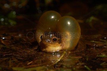 Male of Surinam golden-eyed tree frog (Trachycephalus coriaceus  ex Phrynohyas coriacea) calling during the breeding season - Explosive breeding - Kaw Mountain - French Guiana